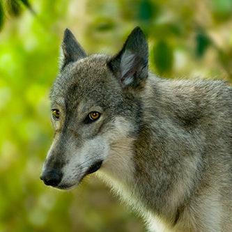 shyw_img_resident-wolf-resident-mia side