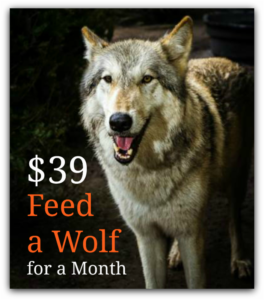 Feed a wolf for a month